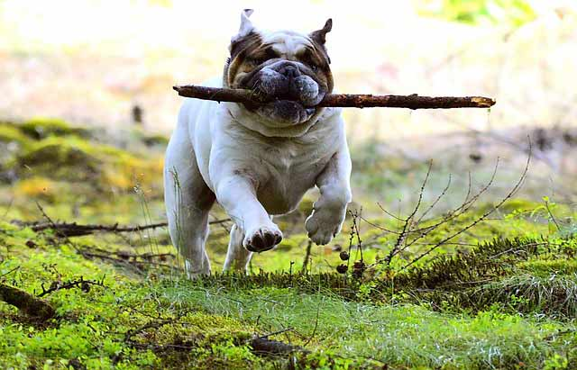 A dog running with a large stick in its mouth. The dog is in mid stride, running on grass. and running towards the camers looking very pround with its stick.