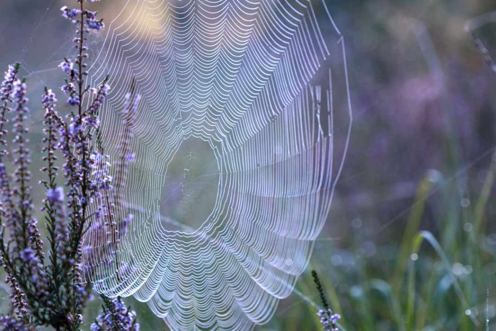 A large spider web attached to a lavender plant, symbolising web hosting and choosing the right host for your web.